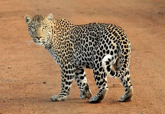 El leopardo tiene una piel muy bonita