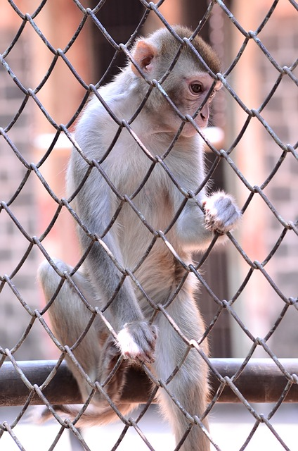 El mono está en la jaula