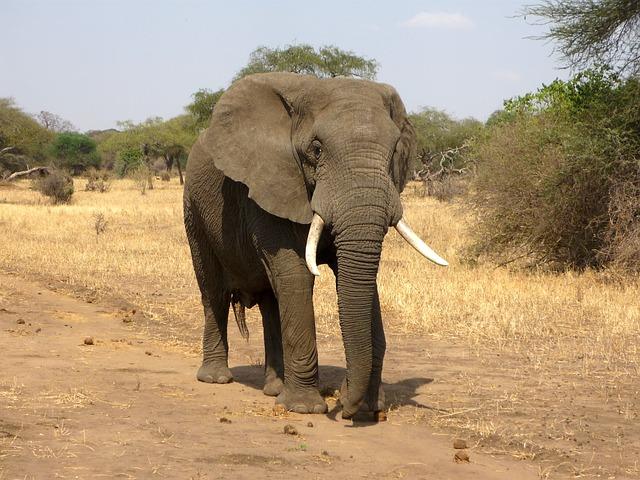 El elefante vive en la selva